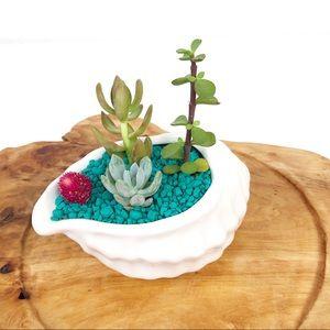 Live Succulent Arrangement White Conch Shell Plant